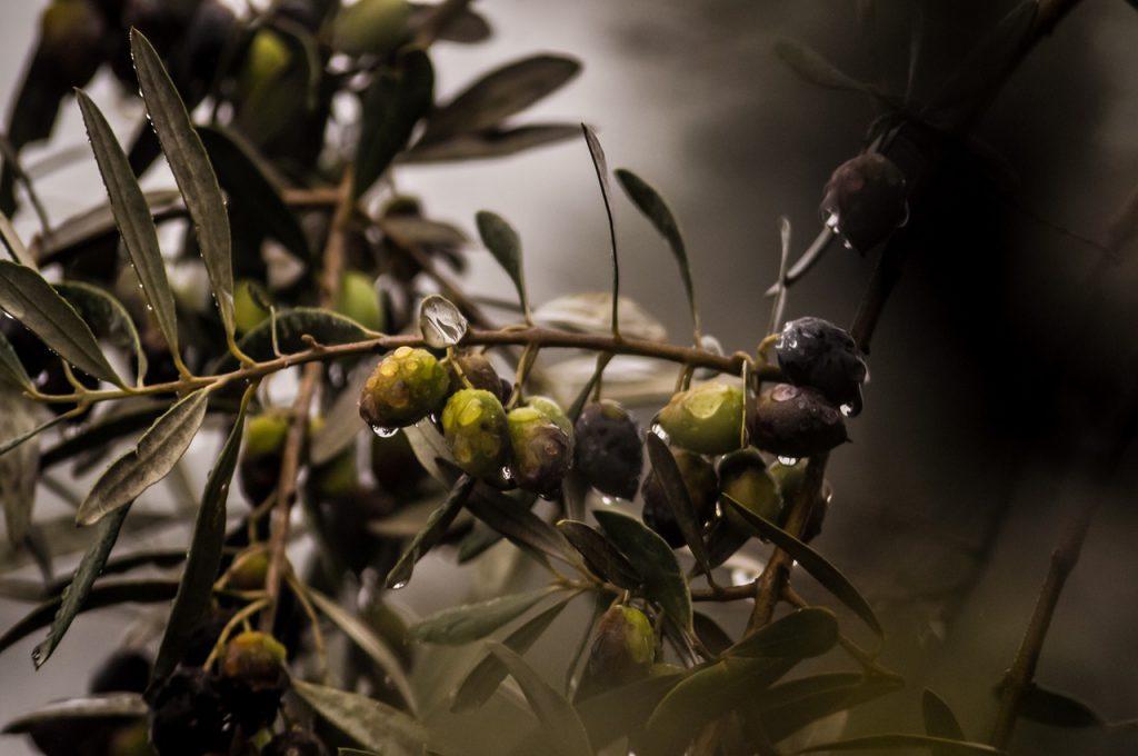 Ramas de olivo con aceitunas.